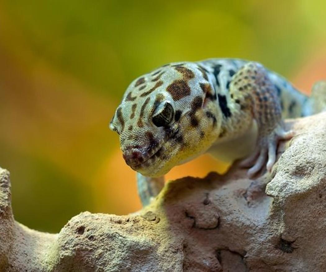 Enfermedades más comunes en los geckos y cómo detectarlas