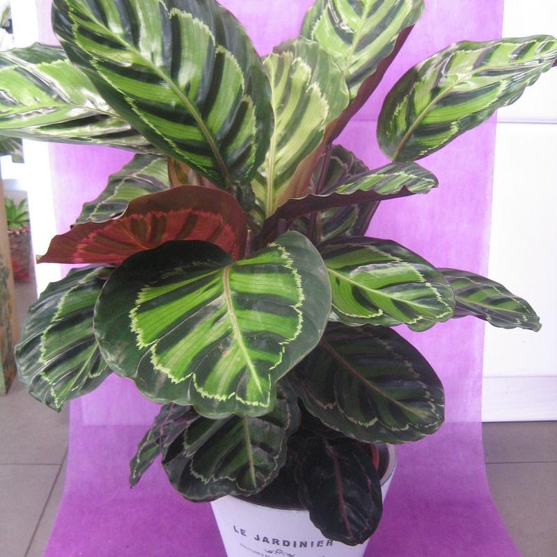 Calathea Rosapicta: Nuestras flores de Bouquet Flores y Plantas