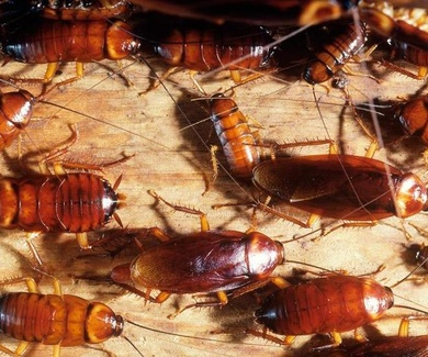 Posible invasión de cucarachas en verano del 2018!!!