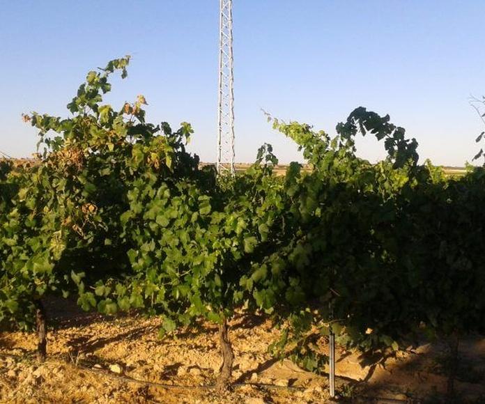 Venta de viña en espaldera de regadio: Inmuebles de Inmobiliaria Minerva