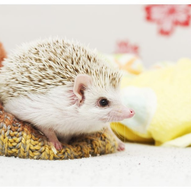 Mascotas exóticas: los erizos