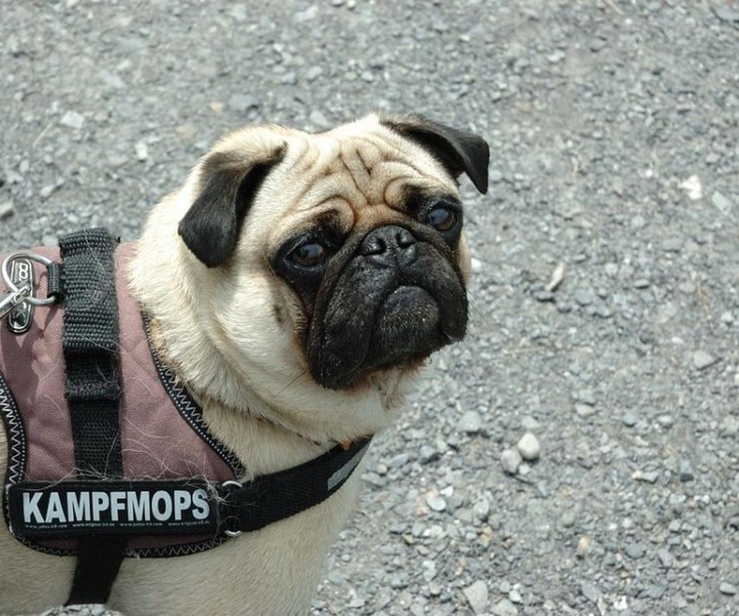 Los permisos para la tenencia de perros peligrosos