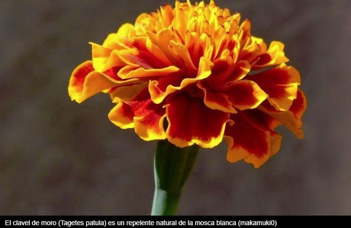 Esta modesta flor puede acabar con una devastadora plaga que afecta a los tomates