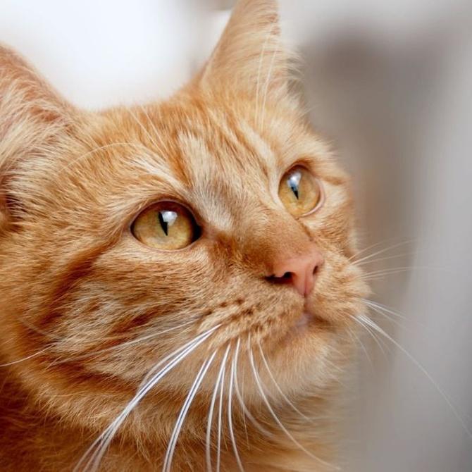 Descubre los beneficios de dar malta a tu gato
