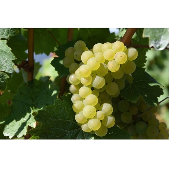 Uva blanca: Nuestros productos de Viveros Rafael Gandía