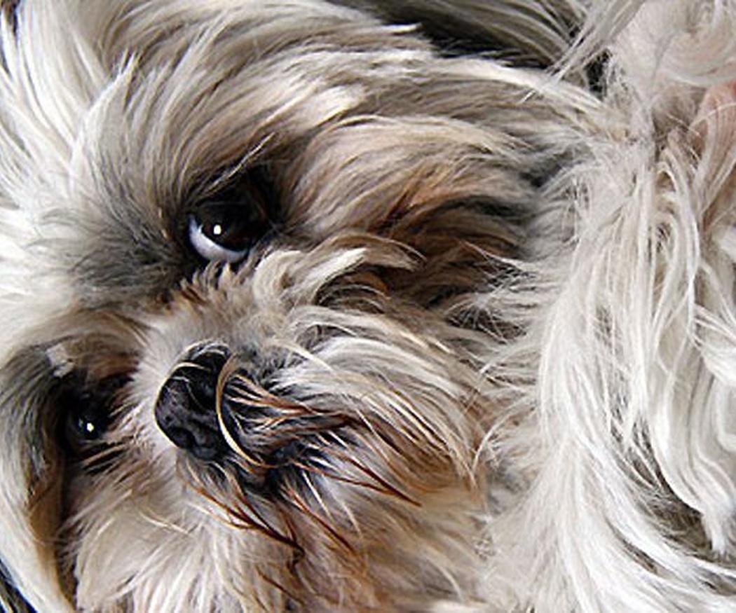 Motivos para llevar a tu perro a la peluquería