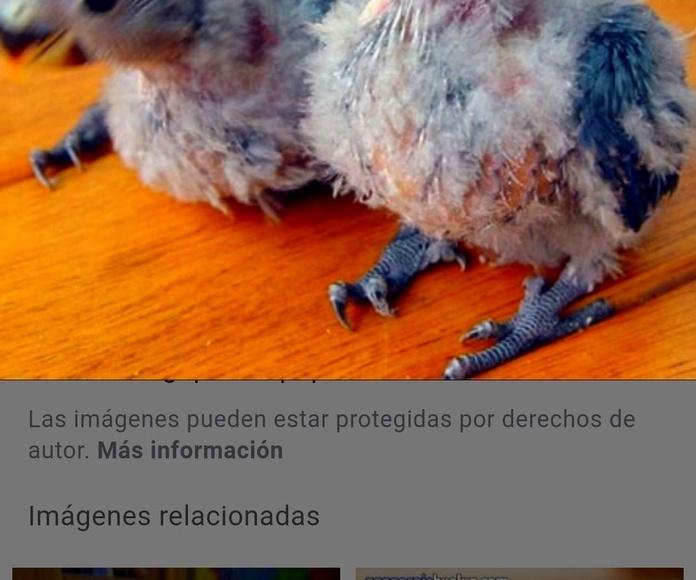 Agapornis papilleros oviedo