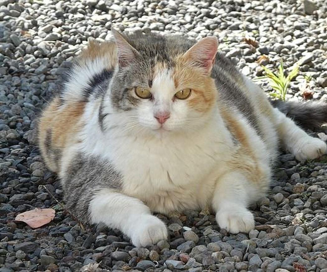 ¿Tu gato tiene sobrepeso?