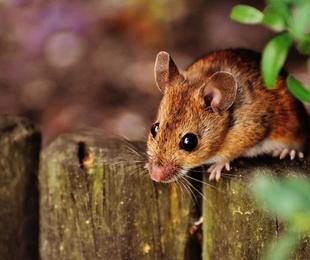 Eliminación de ratones