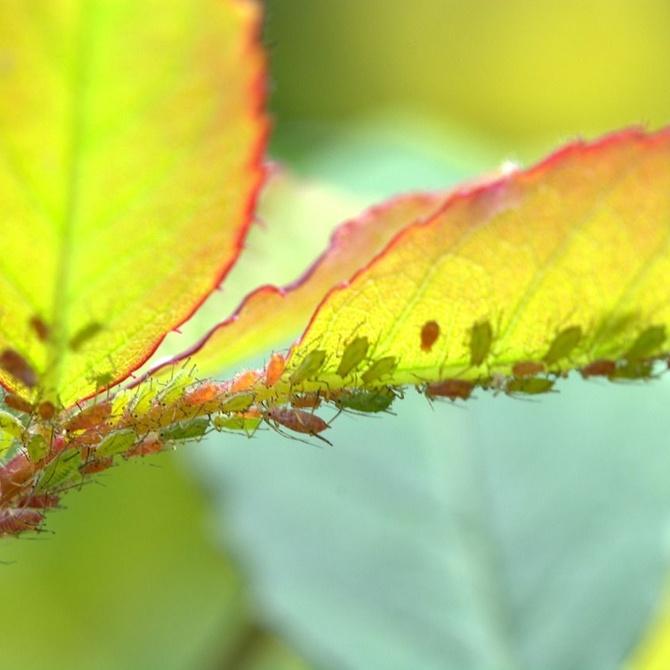 Las plagas de insectos económicamente más perjudiciales