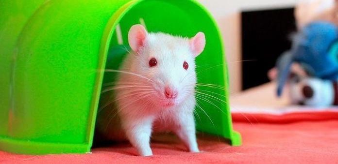Guía de cuidados de las ratas