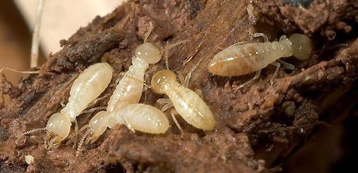 Control de plagas de carcomas y termitas en León