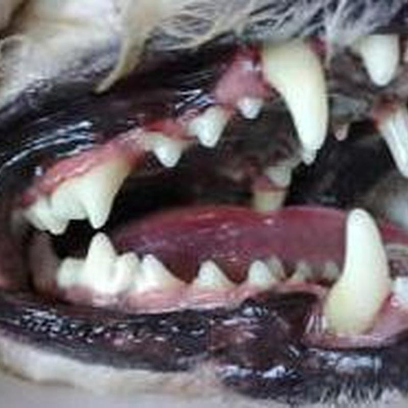Limpieza de boca: Tratamientos y servicios de Clínica Veterinaria Camarma