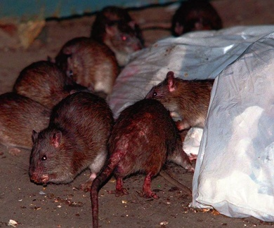Las ratas contagian la hepatitis a una persona por primera vez en la historia.