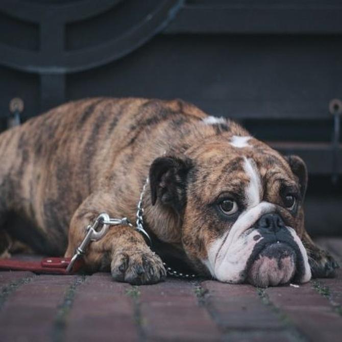 La obesidad en perros