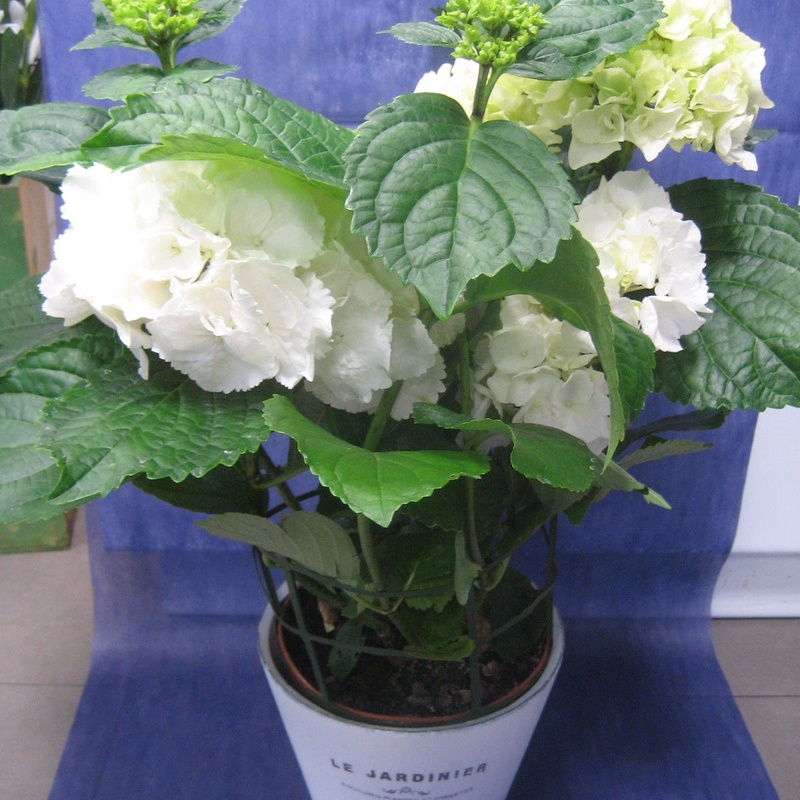 Hortensia Blanca: Nuestras flores de Bouquet Flores y Plantas