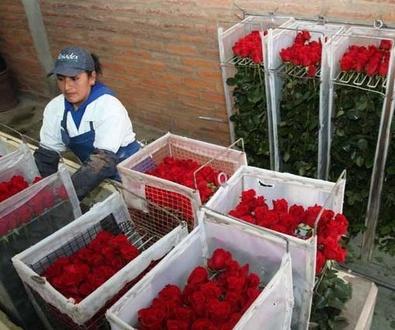 Rosas de Colombia