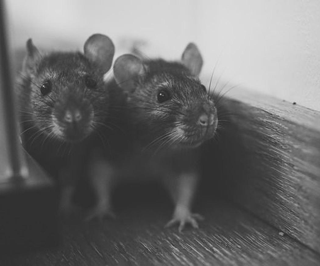 Curiosidades sobre las ratas