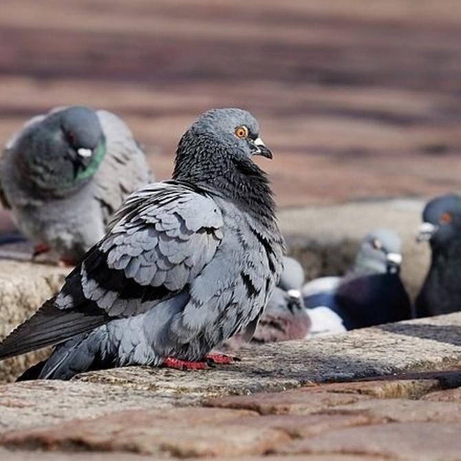 Las enfermedades más comunes que transmiten las palomas