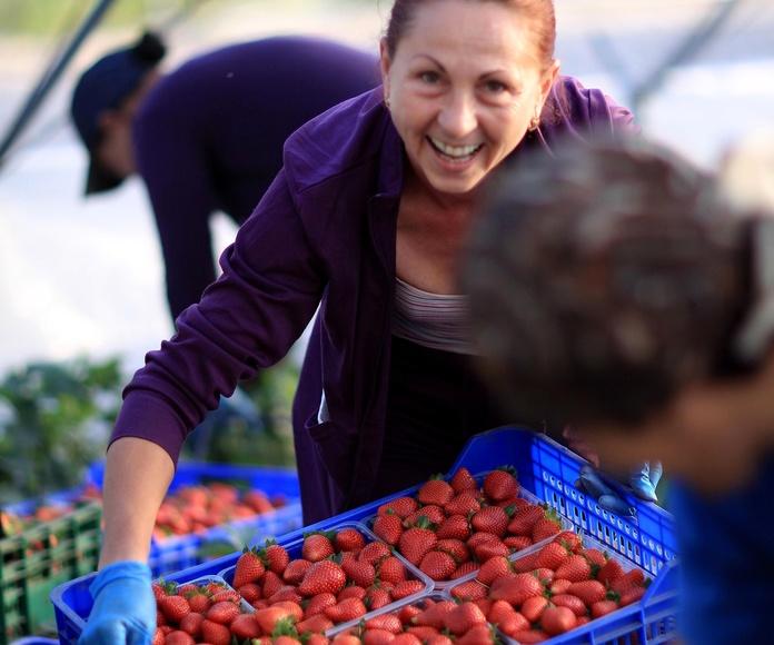 Fresas: Servicios de Frutas Maripí