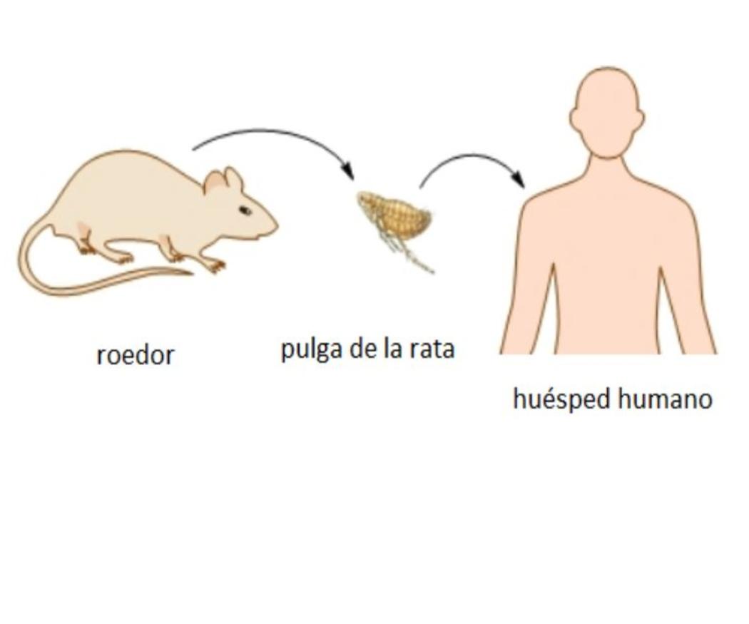 Características de las pulgas