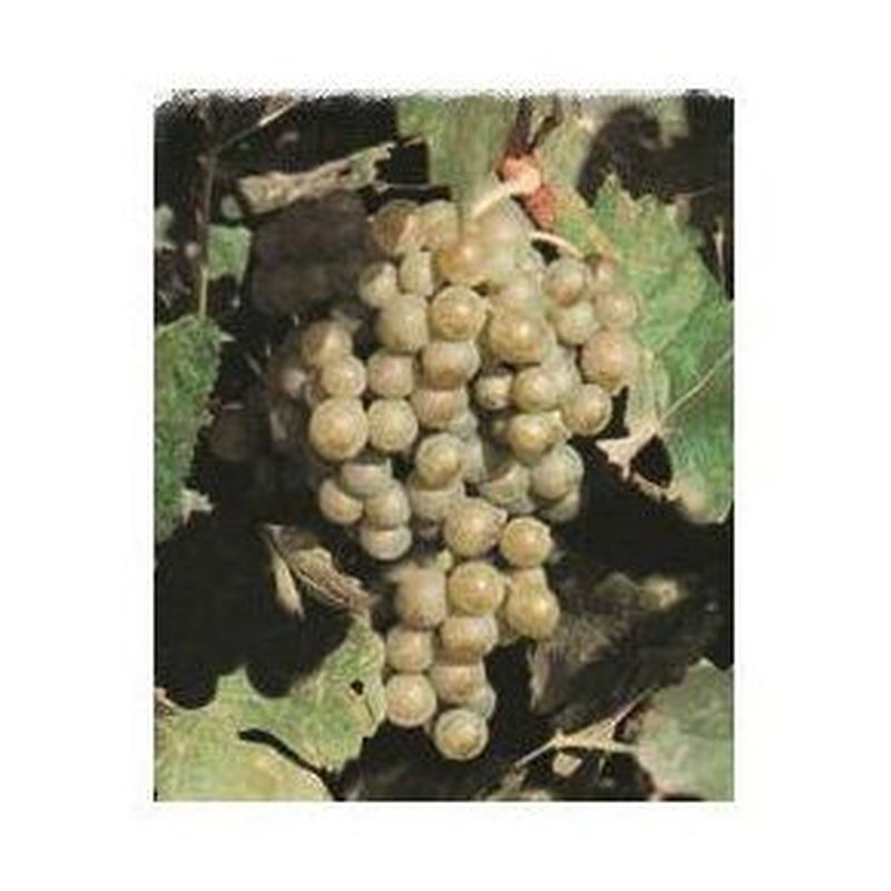 Chardonnay: Productos de Viveros Vila