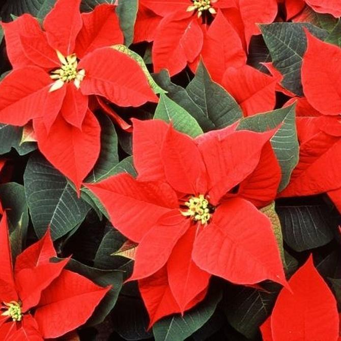 Los centros florales para Navidad