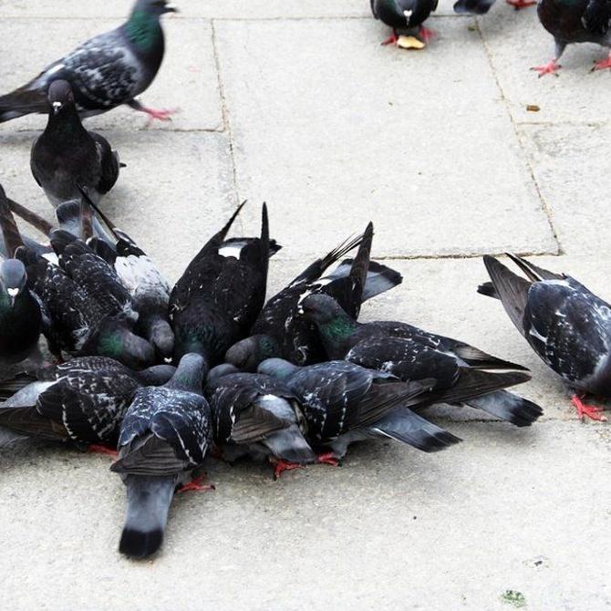 Las palomas pueden convertirse en una difícil plaga
