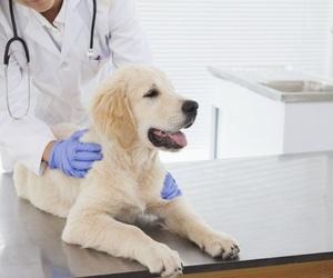 Ventajas de esterilizar a tu perro