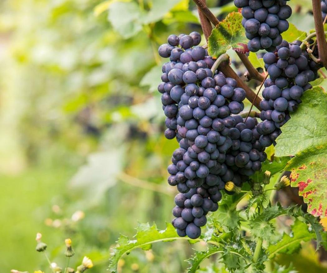 ¿Cómo es la uva Pinot Noir?