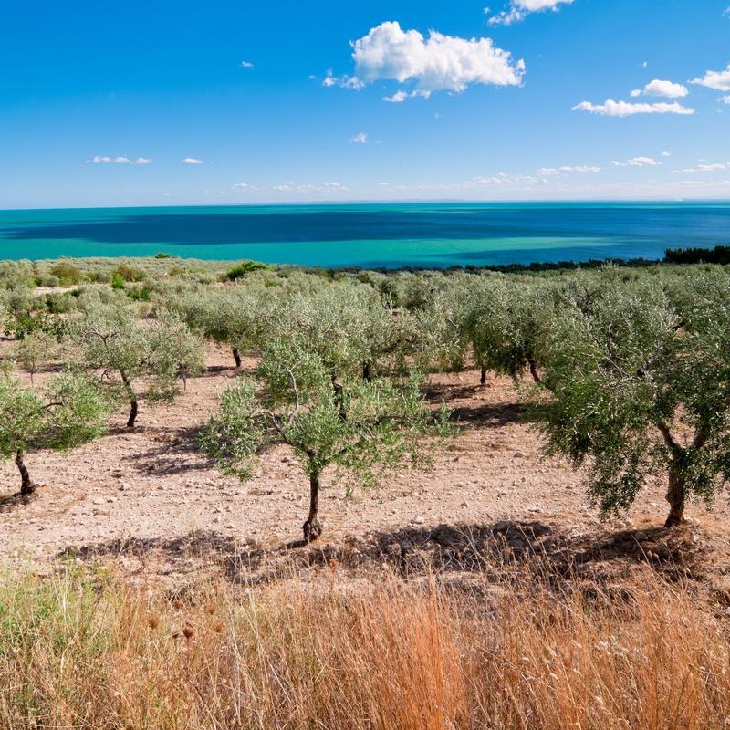 Plantación de frutales, almendros y olivos: Servicios de AGROManchuela