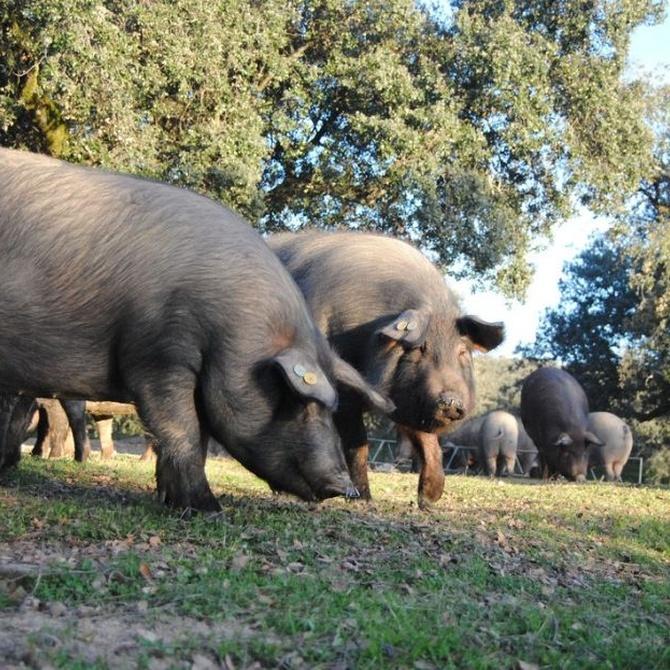 La crianza del cerdo ibérico