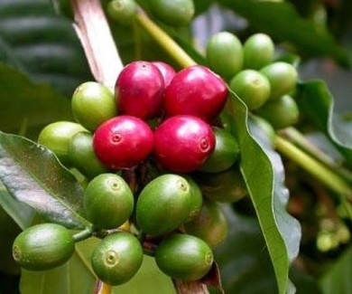 HISTORIA DEL CAFE