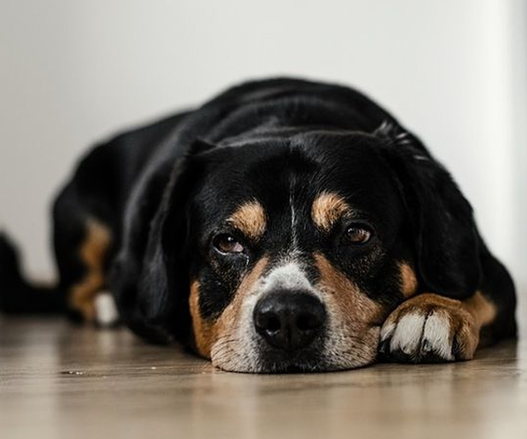 Cuándo llevar al perro al veterinario