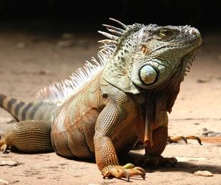 Cómo cuidar a tu iguana