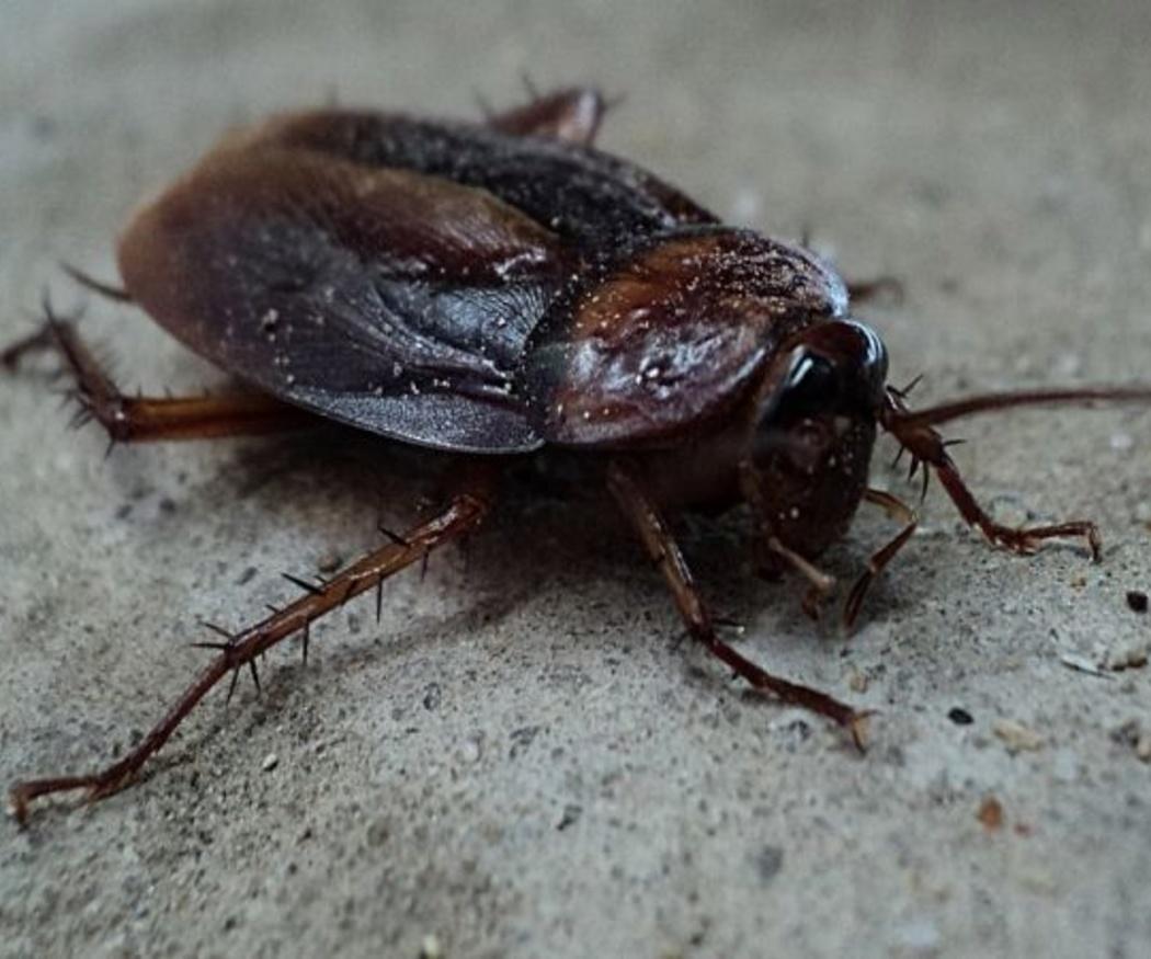 Particularidades de las cucarachas