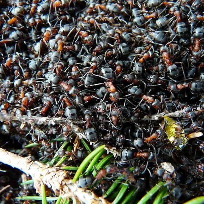 Cómo se eliminan las plagas de hormigas
