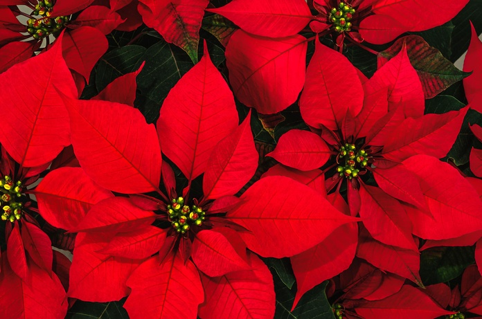 Flor de Navidad Palma de Mallorca