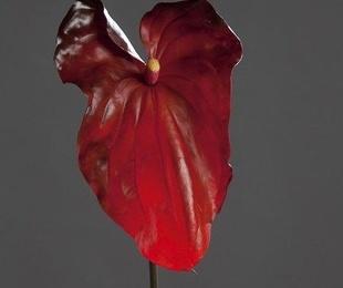 Anthurium GRANDE