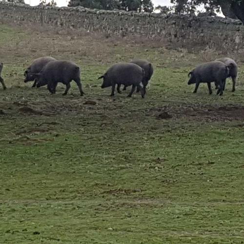 Cerdos en montanera, criados a base de bellotas y en libertad