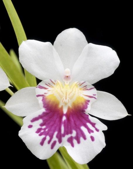 Orquídea del Ángel de la Guarda : Terapias de Terapias Alternativas Isabel