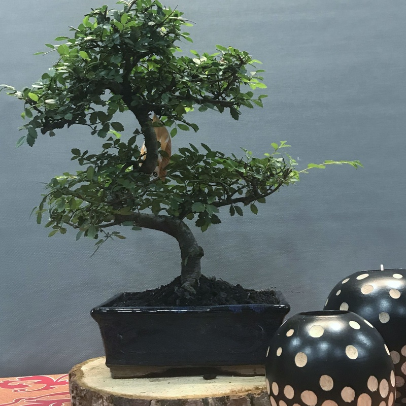 bonsai zelkova 8 años : Productos de Flores Madrid