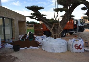 Transplante olivo centenario