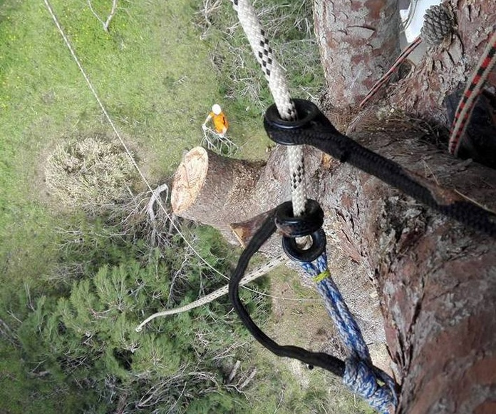 Tala de pino halepensis