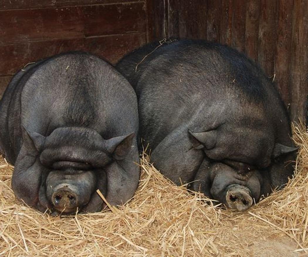 Cuidados básicos del cerdo vietnamita