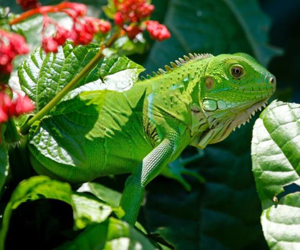 Pautas para cuidar a tu iguana