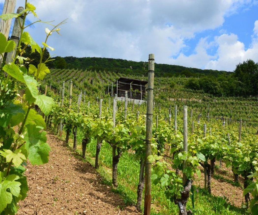¿Cuándo el mejor momento de plantación para un viñedo?