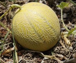Cultivo melón francés