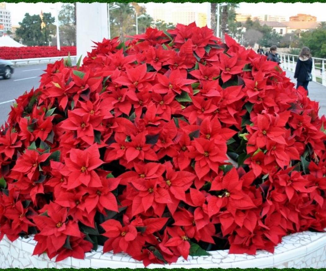 ¿Sabes qué plantas regalar en estas Navidades?