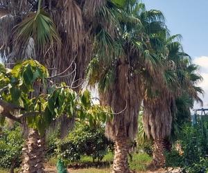 Poda de palmeras en Granada